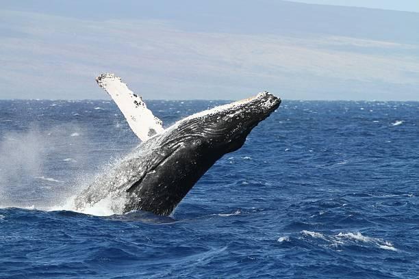 Breaching Humpback Whale off the Maui coast