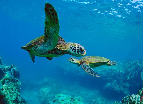 Wild green sea turtles underwater in Maui, hawaii, USA